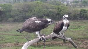 Glaslyn Osprey 2