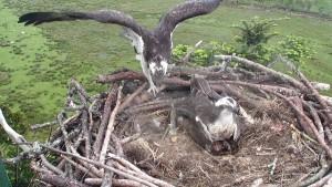 Osprey at Glaslyn - Bywyd Gwyllt Glaslyn Wildlife